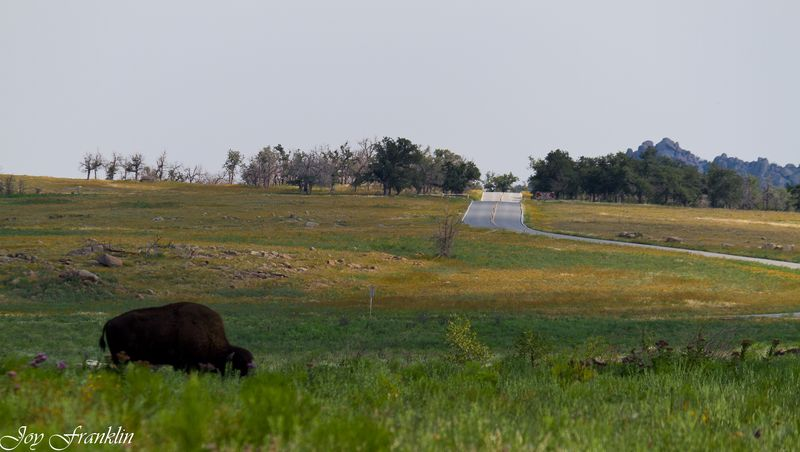 Buffalo at the Wichita Mountain National Wildlife Refuge-2740