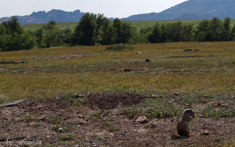PRairie Dog at the Wichita Mountains-2701
