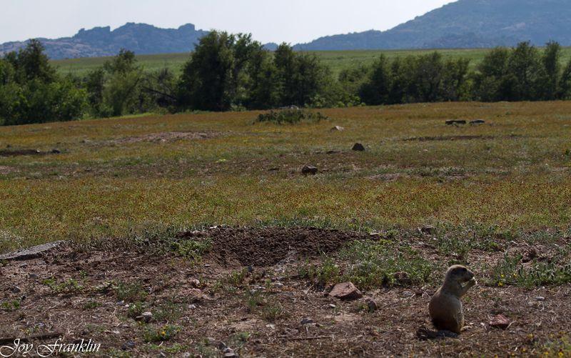 PRairie Dog at the Wichita Mountains-2701