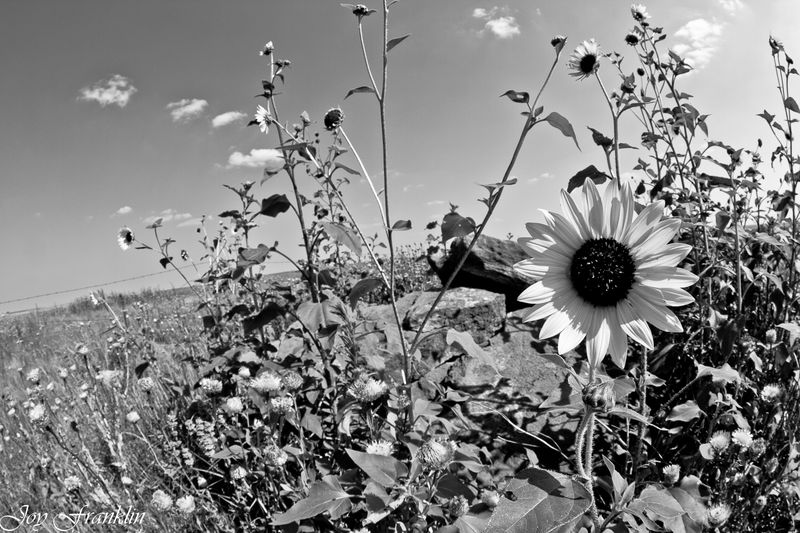 Oklahoma sunflowers-2770