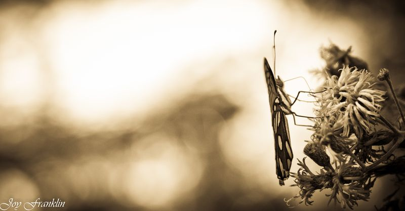 Butterfly in Sepia -4110