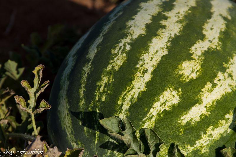 Watermelon growing in a field-4389