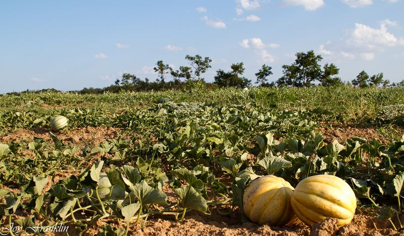 Oklahoma Watermelon Farming-4404