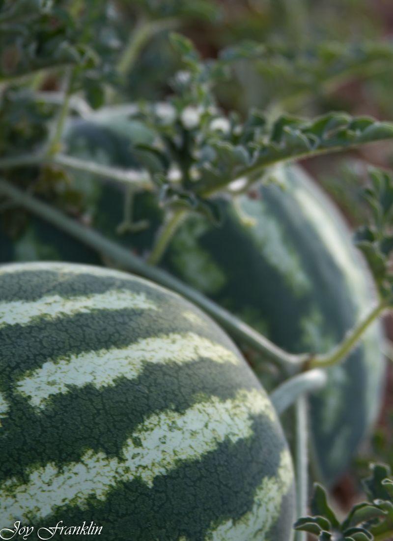Oklahoma Watermelon Farming-4408