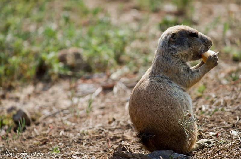 Prairie Dog Eating Bread -2702