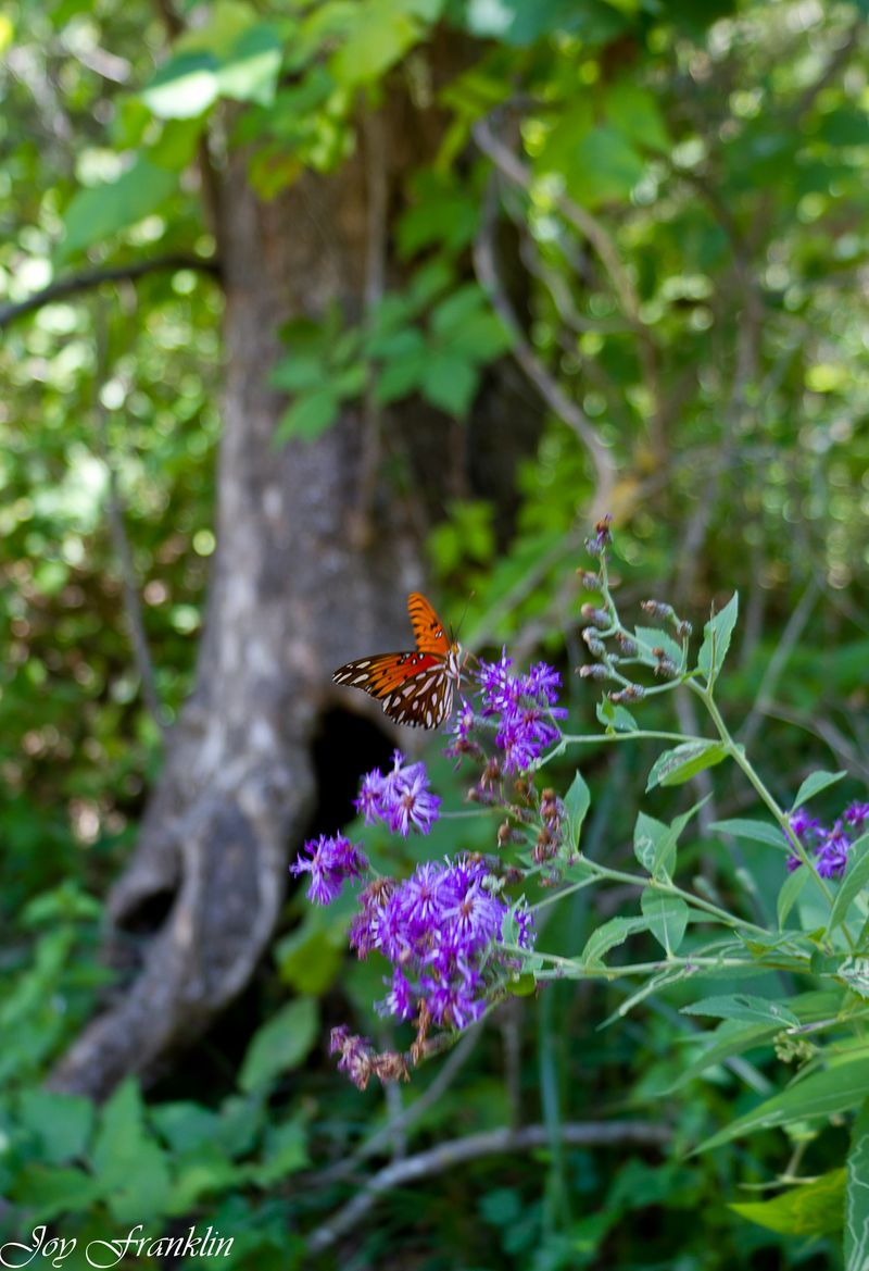 Butterfly at Chickasaw National Recreation Area-4116