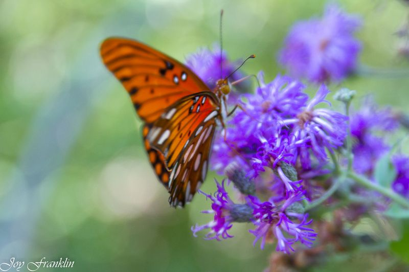 Butterfly at the Chickasaw National Recreation Area-4112