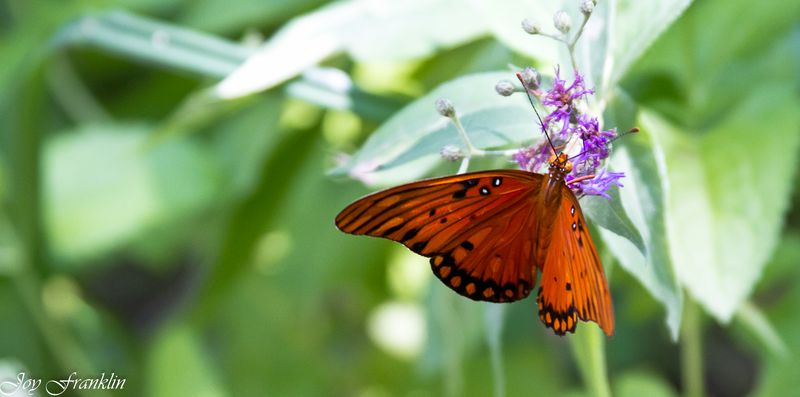 Butterfly in Chickasaw Country-4094