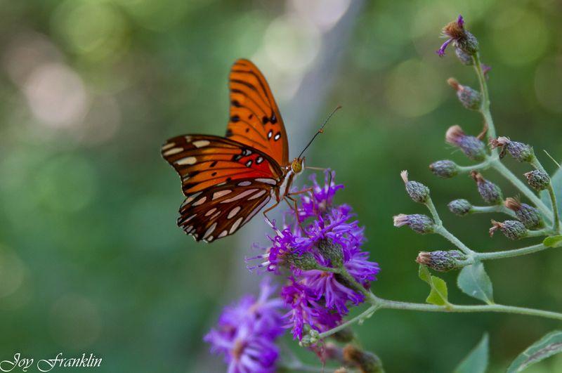 Oklahoma Butterfly -4120
