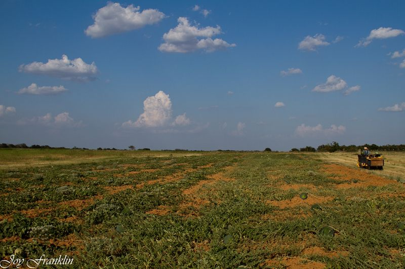 Oklahoma melon field-4386
