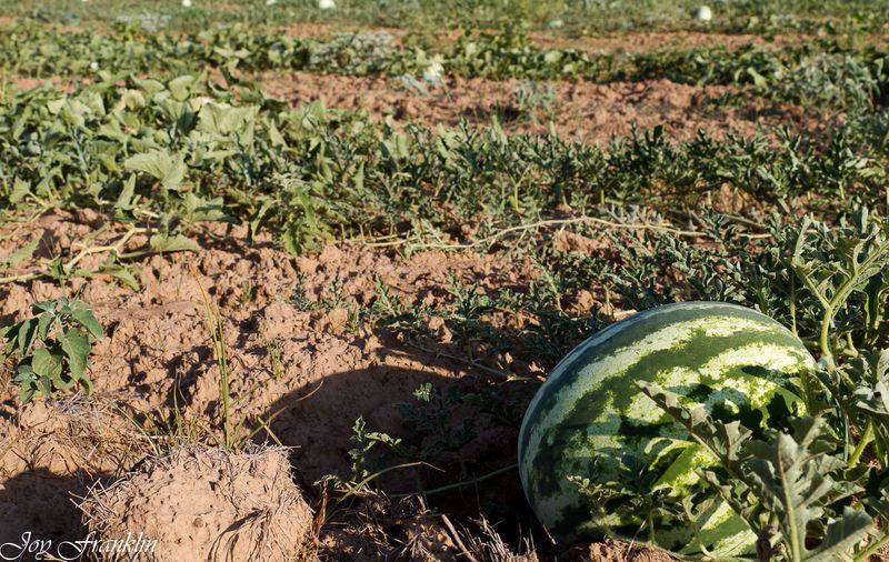 Sharp Melons-4406