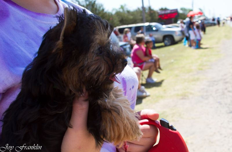 Yorkshire Terrier Puppy watching a parade-4805