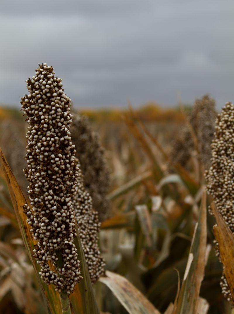 Milo Grain in Kansas -8624