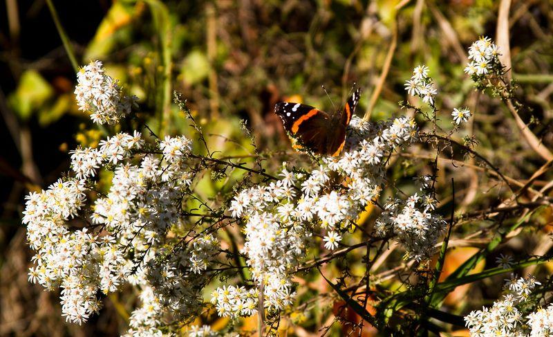 Fall Butterfly -0071