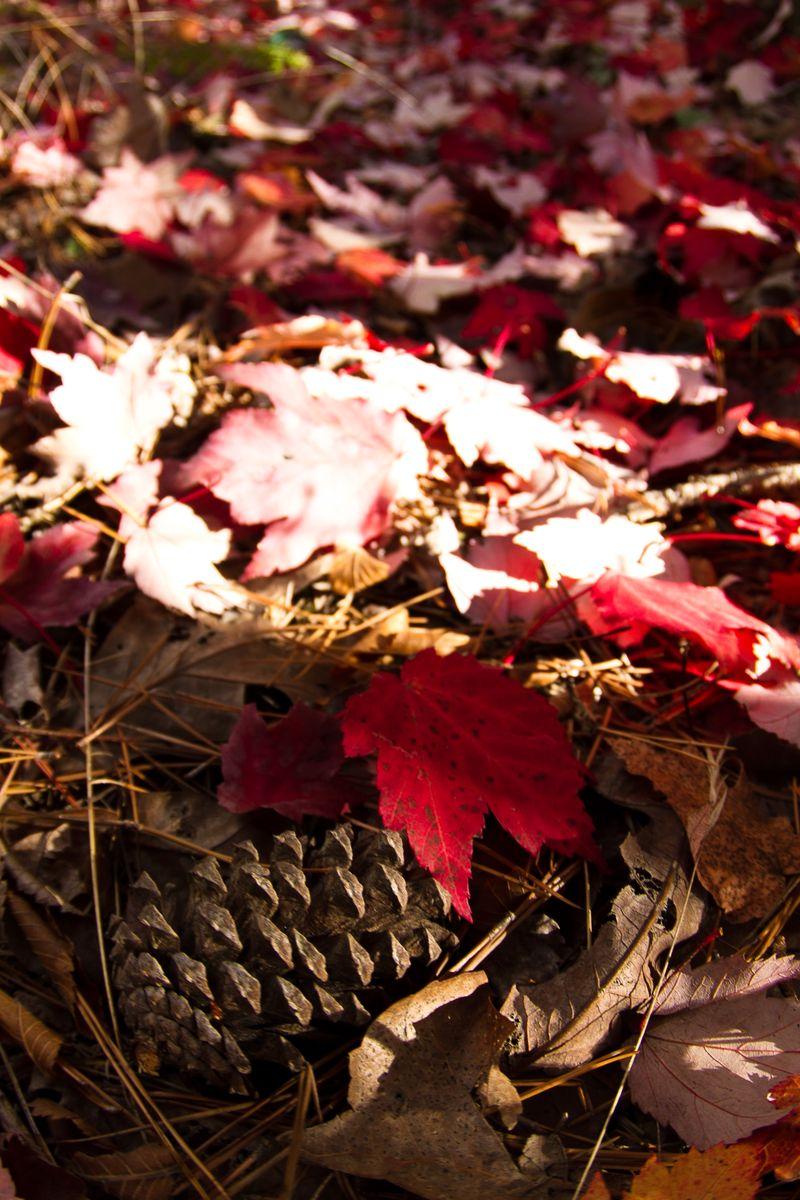 Fallen Red Leaves-2610