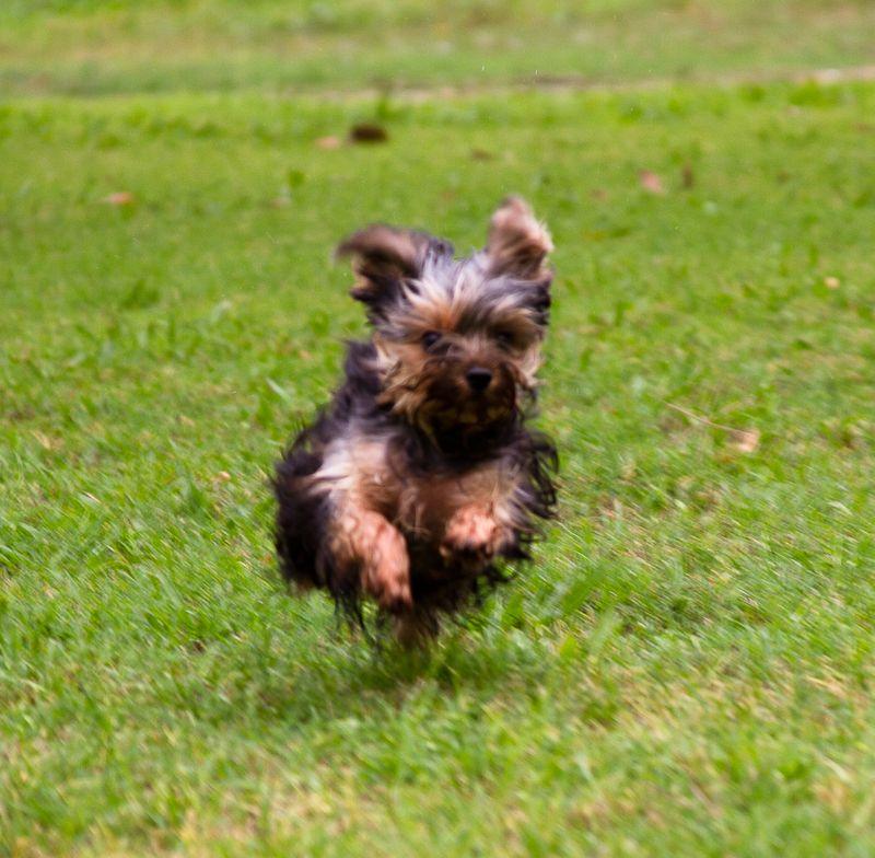 Yorkshire Terrier Puppy-0021