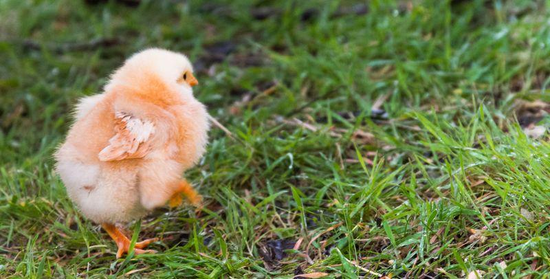 Chicks-8532