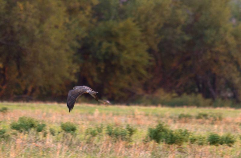 Hawk in Oklahoma-8302