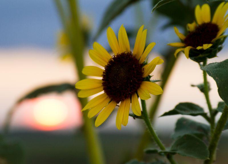 Sunset and Sunflower-8380
