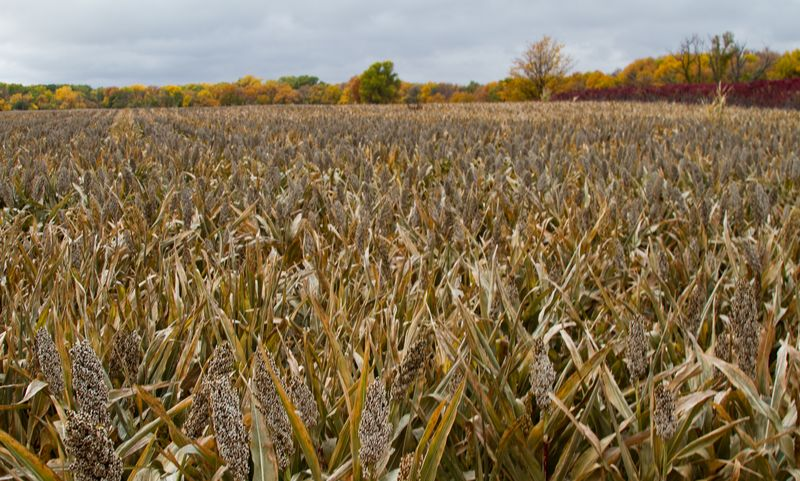 Milo Field in Kansas -8628