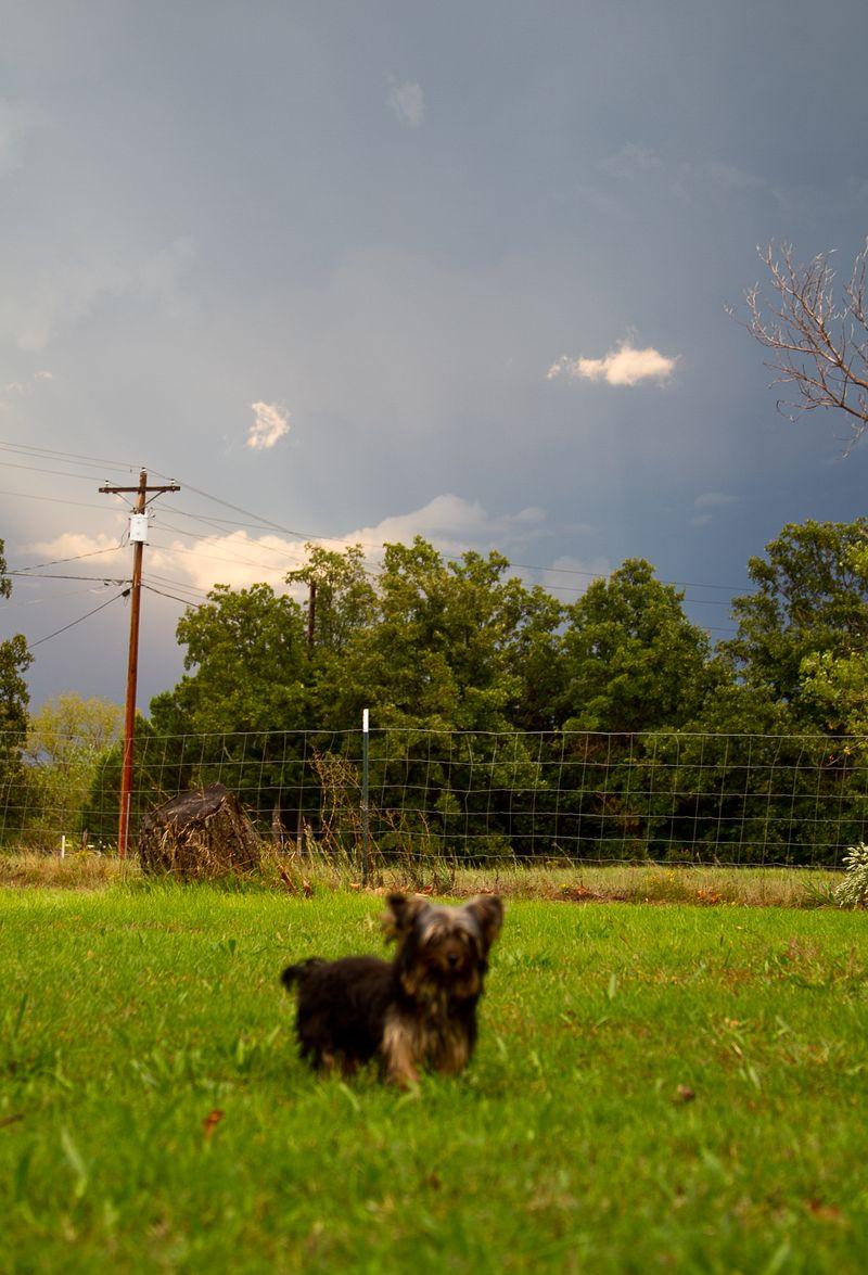 Yorkshire Terrier Puppy-0004
