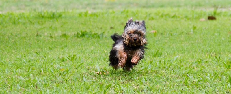 Yorkshire Terrier Puppy-0018
