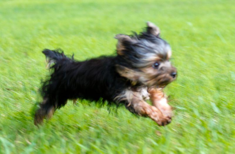 Yorkshire Terrier Puppy-9993