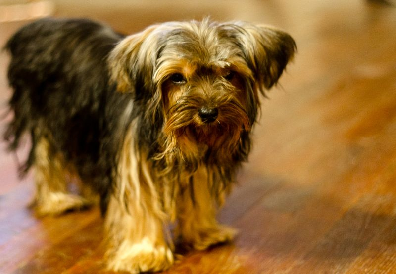 Yorkshire Terrier is a Terrorist -1
