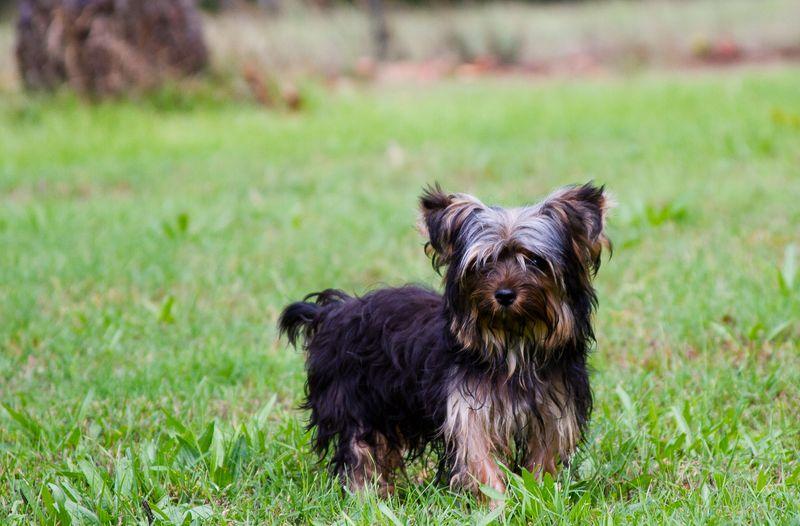 Yorkshire Terrier Puppy-0002