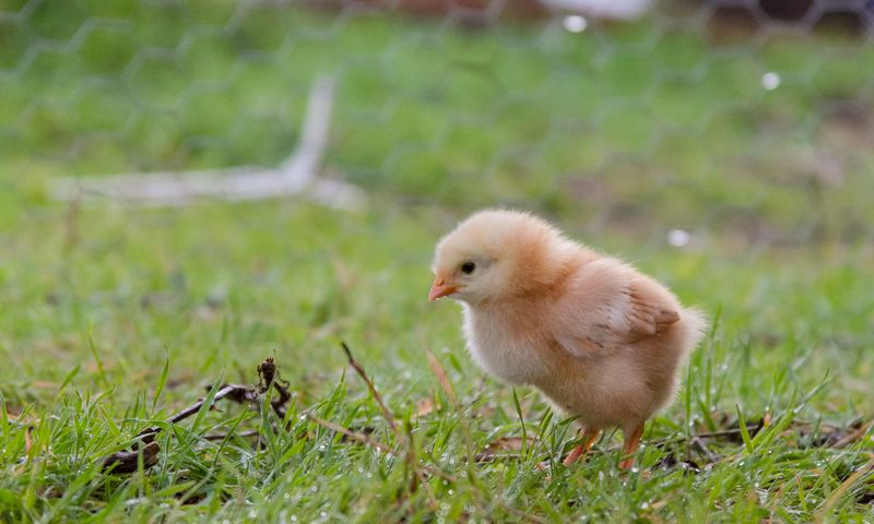 Chicks-8549