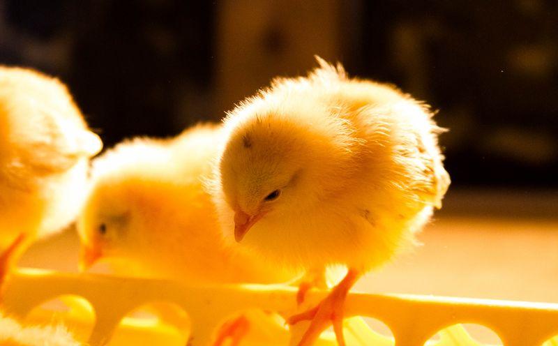 Chicks-8508