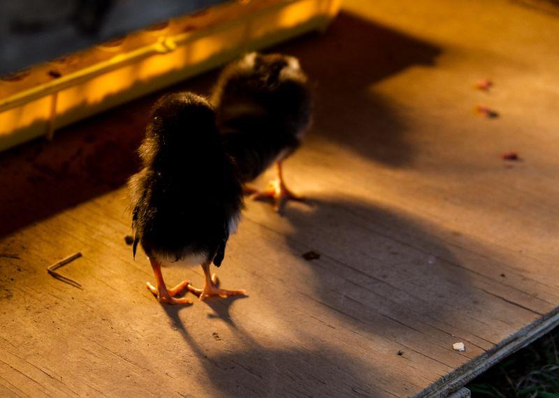 Chicks-8569