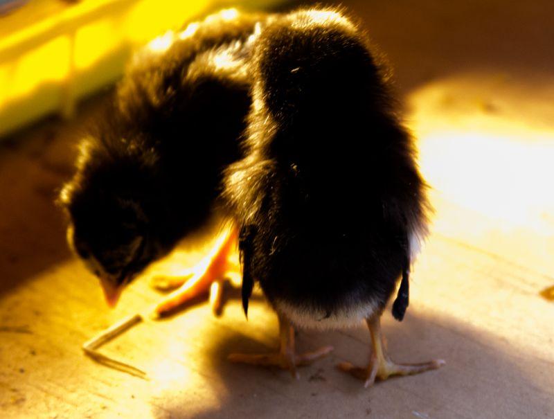 Chicks-8570