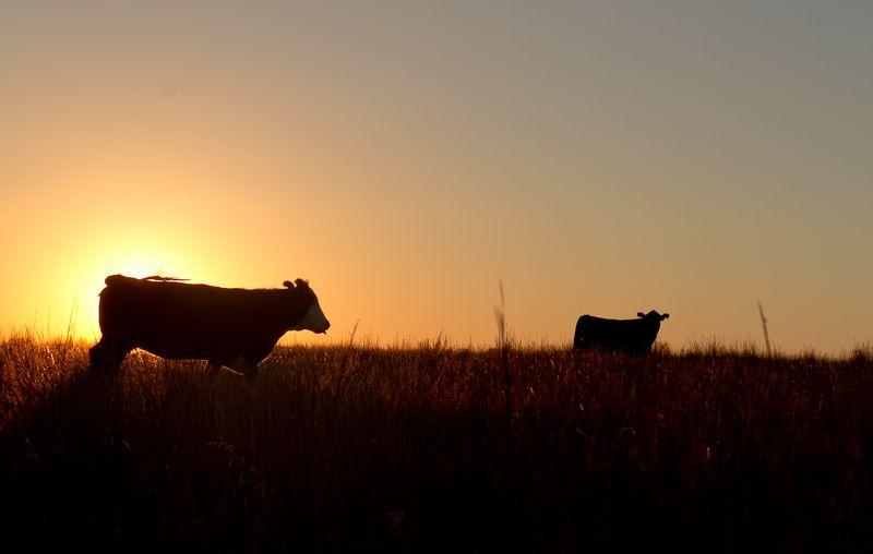 MOOOO COWS-0284