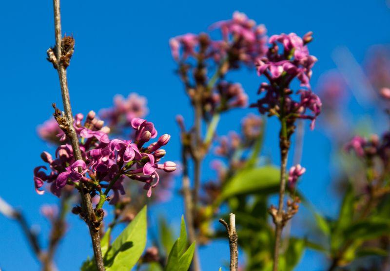 Lilacs -9273