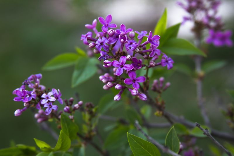 Lilacs on the dying lilac bush-9274