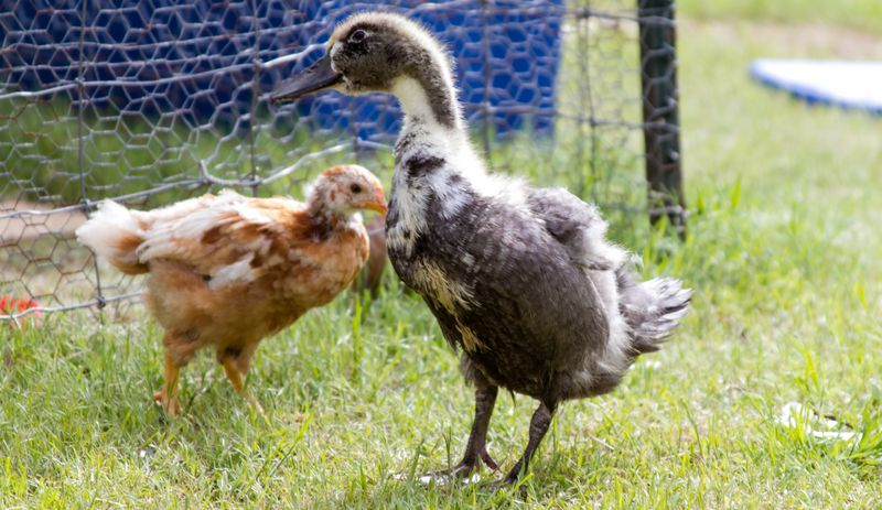 Pickles and Chick-0121