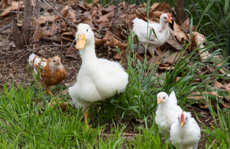 Squawkers and Chicks-0082