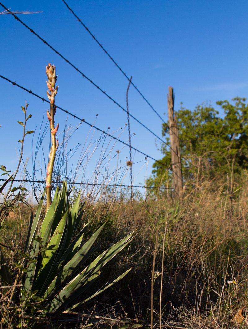 Yucca plant -1808