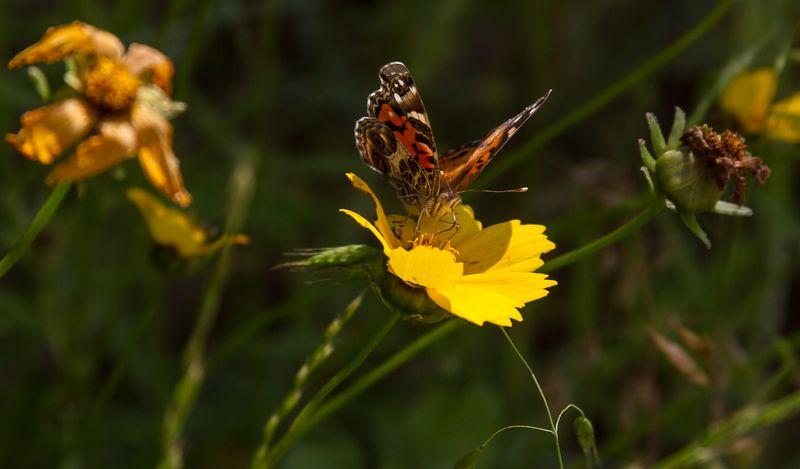 Butterfly-3716