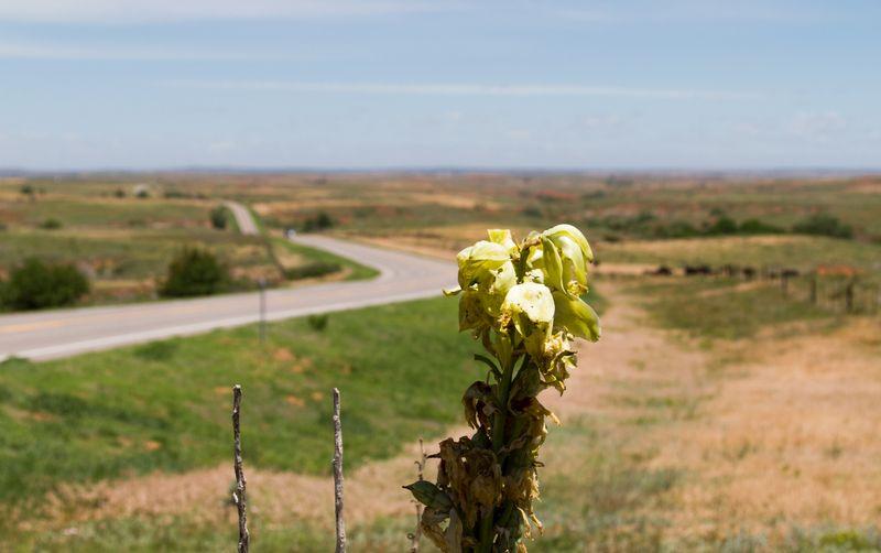 Yucca plant near Buffalo Oklahoma-4039