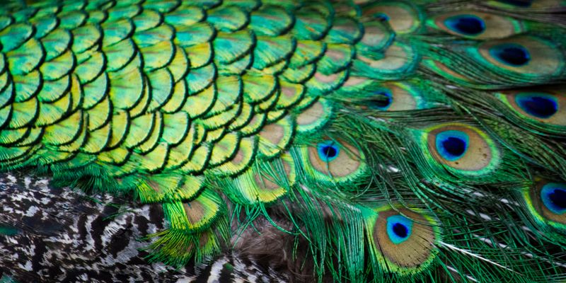 Peacock Feathers-4595