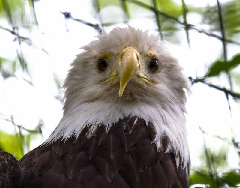 Bald Eagle-4662