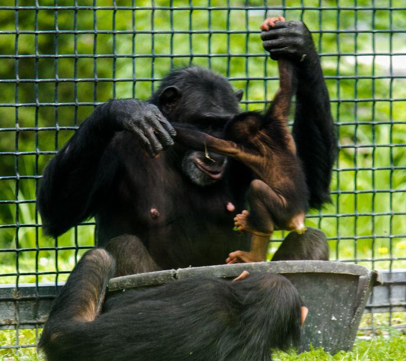 Mama Chimp and Baby Chimp-4799
