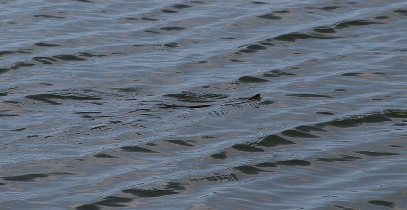 Snake in the lake-6359