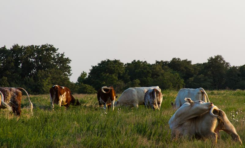 Cows grazing in rural Oklahoma-8166