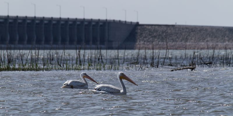 Pelicans at Harlan County Lake in Nebraska-0383