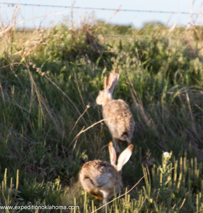 Jackrabbits in love-1903