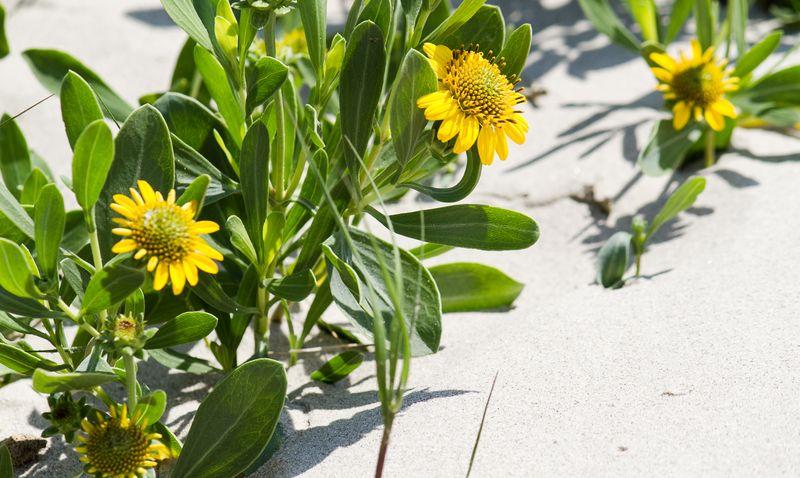 Flower on Galveston Island-3179