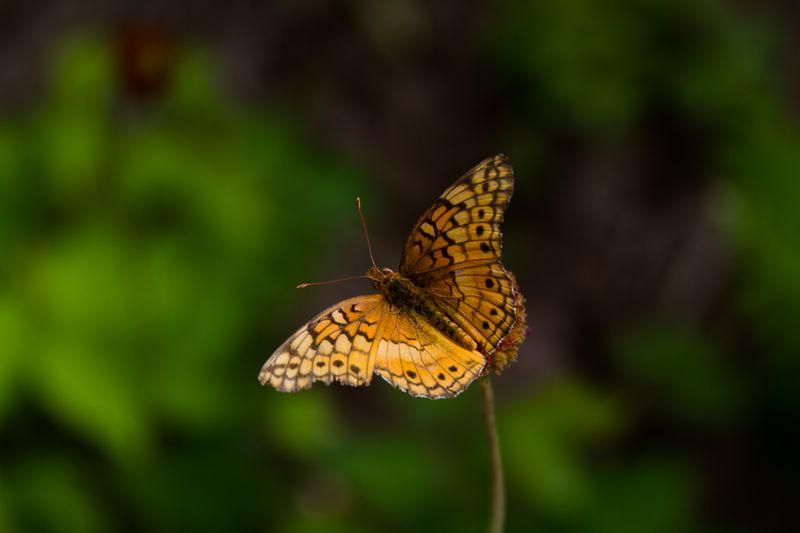 Butterfly -3657